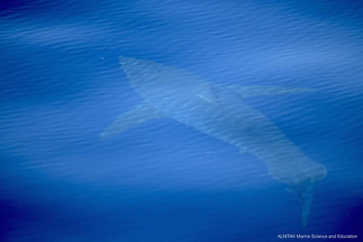 El sorprendente avistamiento de un tiburón blanco después de 40 años