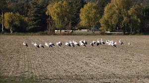 El grupo de cigüeñas que se han instalado en Banyoles.