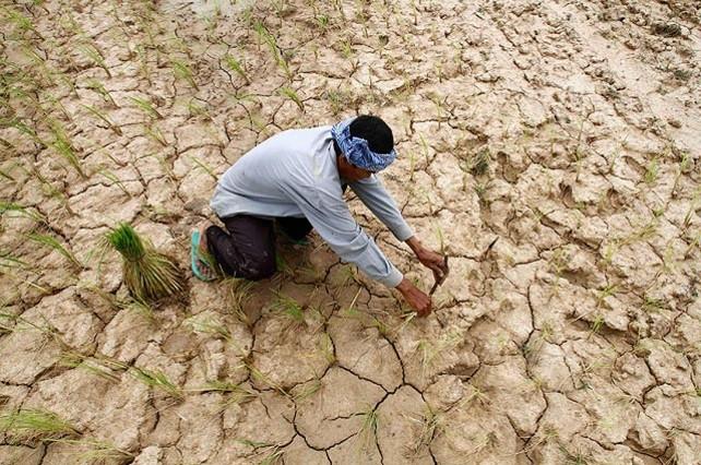 Un pagès planta arròs en un camp erm de cultiu a la província de Kampong Seu, Cambodja. Una dura sequera ha castigat el país en la que havia de ser la seva estació plujosa, i ha destrossat més de 100.000 hectàrees de cultiu.