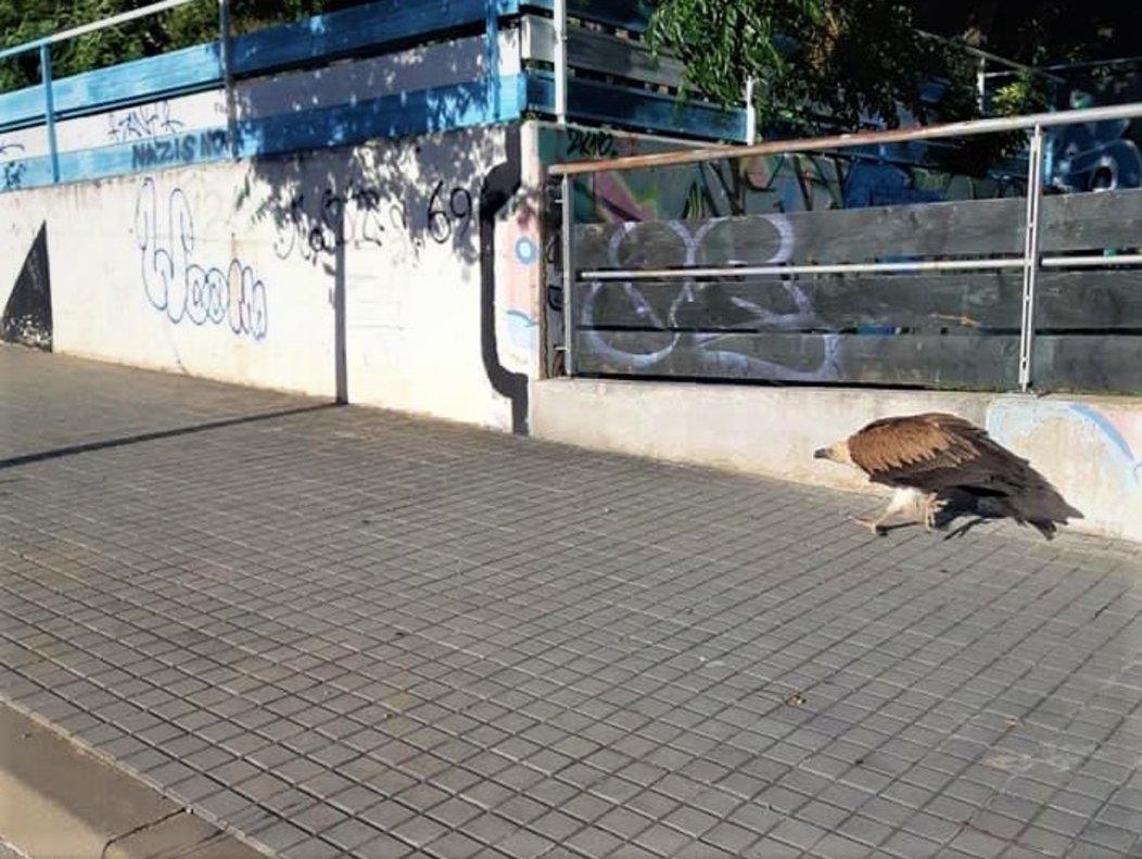 Avistado un buitre en los barrios de La Morera y Bufalà de Badalona