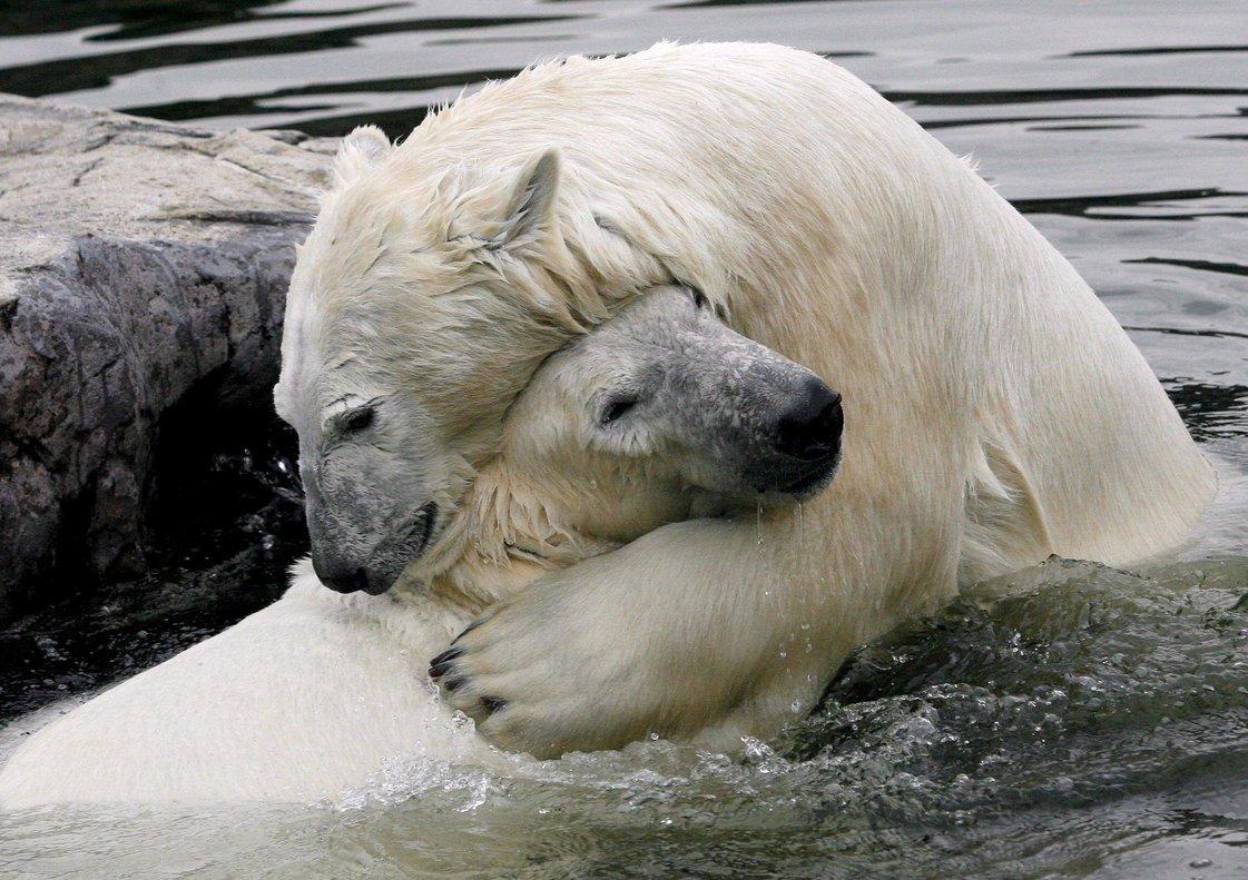 Dos osos polares juguetean en un zoo de Alemania.