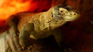Un dragón de Komodo del zoo de Barcelona