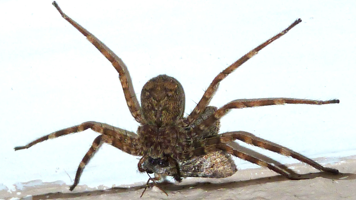 Ejemplar de araña selenopidae, comunmente conocida como araña voladora.