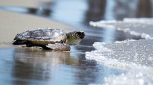 La tortuga Coco, recién liberada en el CRAM, se dirige hacia el mar para iniciar una nueva vida.