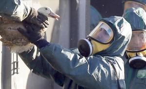 Unpato, introducido en el contenedor donde será gaseado, en una imahen del pasado enero, durante la epidemia de gripe aviaren Francia.