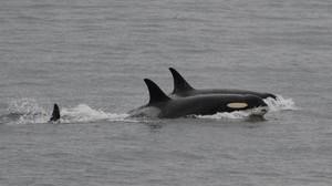 La orca J35, que llevó el cadáver de su cría 17 días a cuestas, vuelve a nadar con otras orcas.