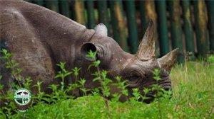 Fausta, la rinoceronte más longeva del mundo, en Tanzania.