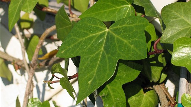Ejemplar de hiedraPothos (Epipremnum aureum)