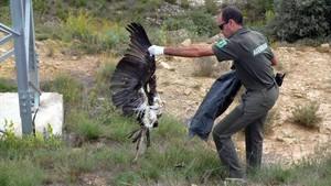 Miembros de los Agentes Rurales de la comarca de la Noguera recogen el cadáver de un aveelectrocutada.