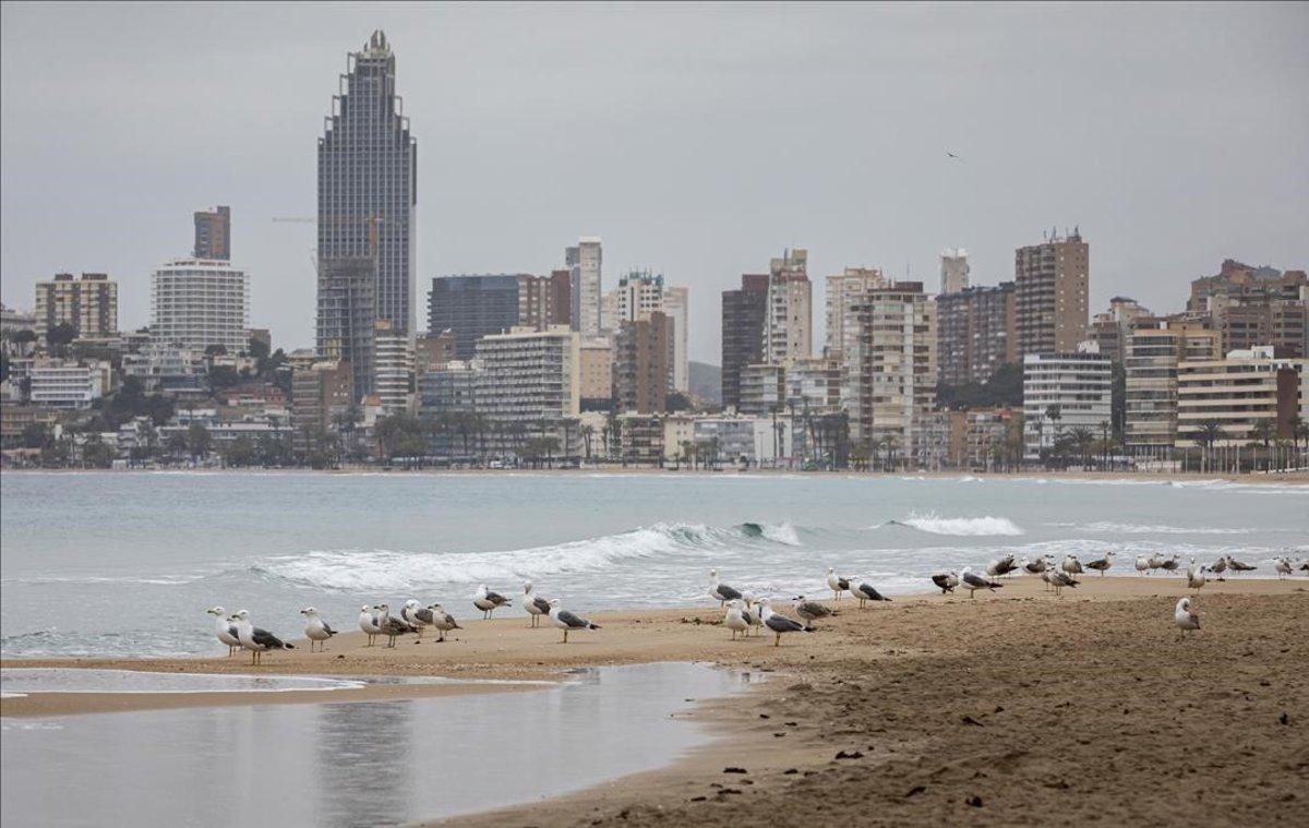 Las gaviotas ocupan el lugar de los turistas en las playas de Benidorm, cerradas por el estado de alarma.