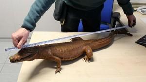 Decomisado un cocodrilo disecado en Tarragona
