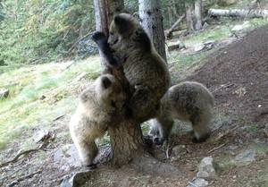 Una de las últimas imñagenes captadas por el equipo de seguimiento del oso del Pirineo, en Lladorre (Pallars Sobirà).