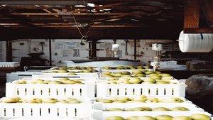Producción ecológica de peras.