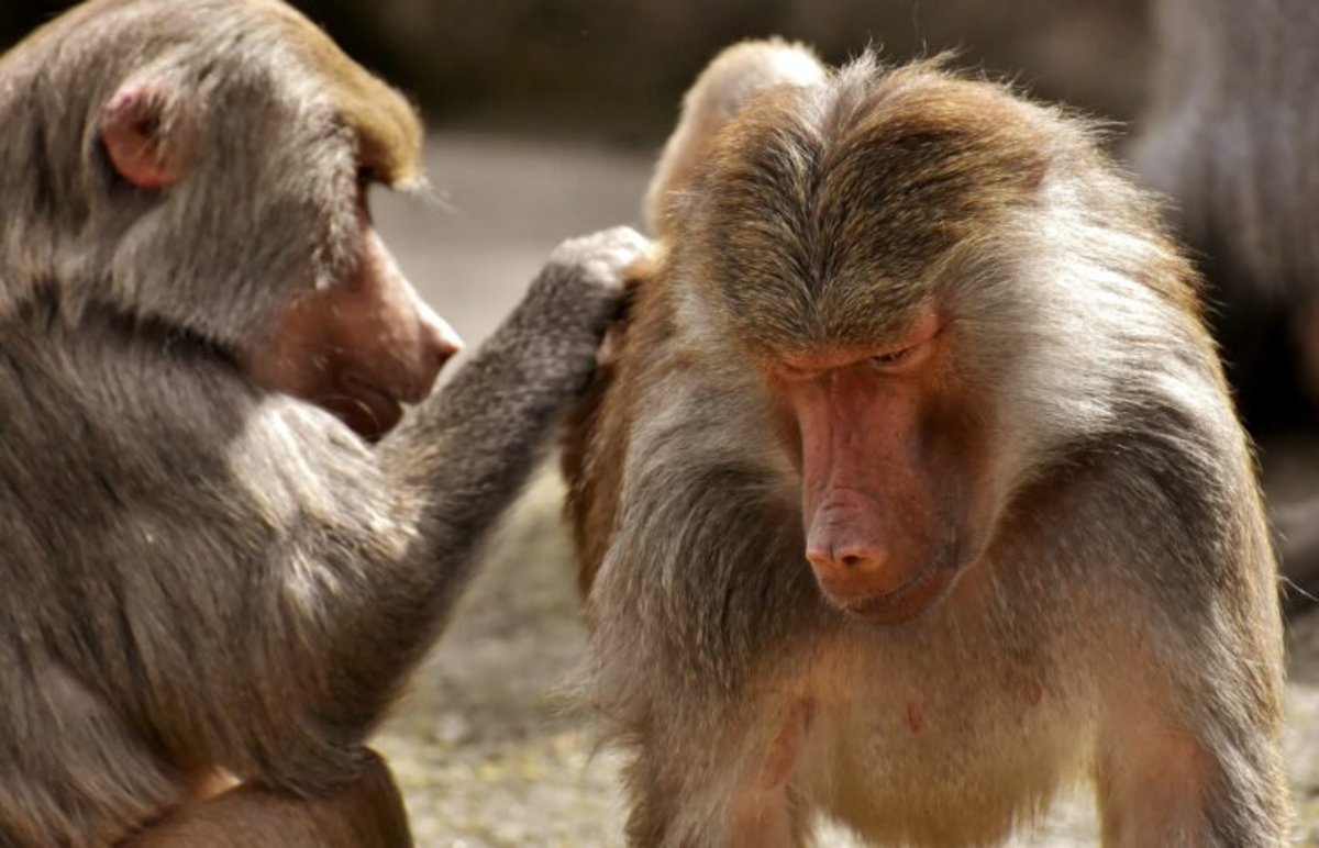 Tener amigas alarga la vida... al menos a los babuinos machos