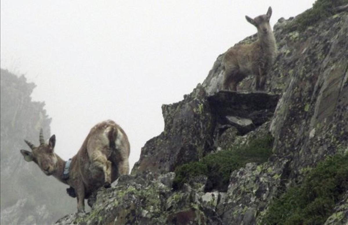 Una cabra salvaje con una cría, en la zona del Alt Pallars.
