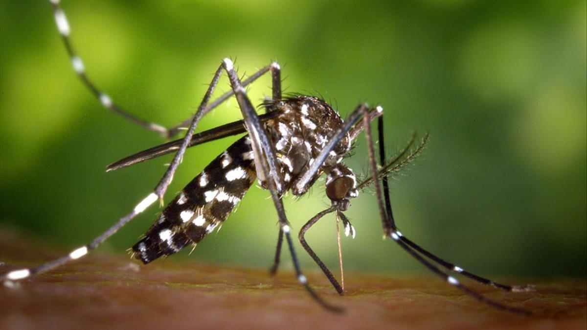 Un ejemplar de mosquito tigre.