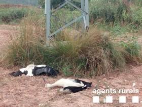 Cigüeñas muertas al pie de una torre eléctrica en Navàs (Bages).