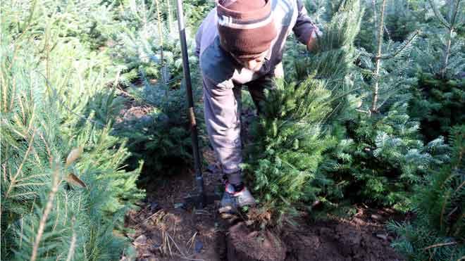 La crisi climàtica complica el cultiu d'arbres de Nadal a Catalunya