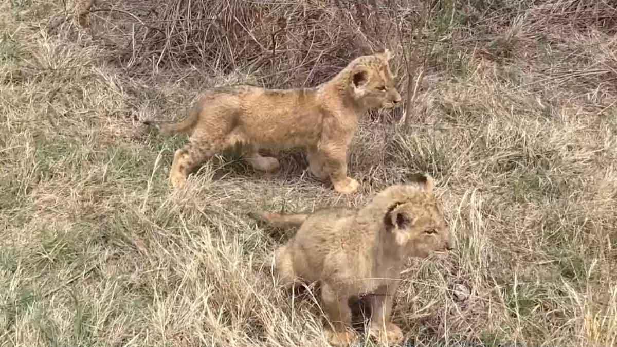 Estos son los primeros leones concebidos por inseminación artificial.