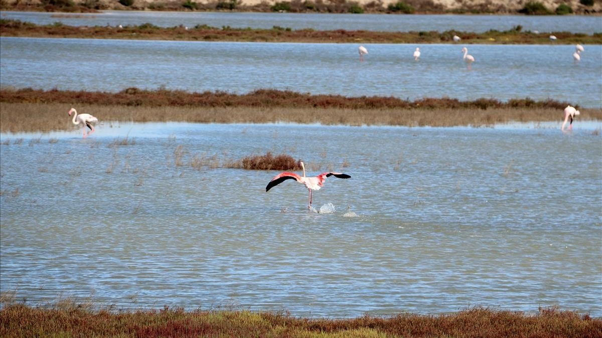 Un flamenco vuela por una zona de marismas próxima a la laguna de la Tancada.