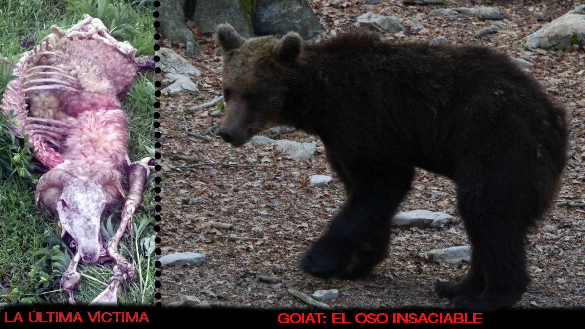 El oso aranés protagoniza siete ataques a ganado en menos de una semana