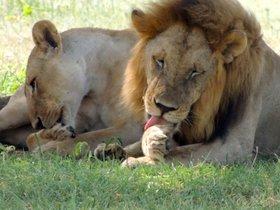 Un león y una leona descansan a la sombra.