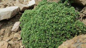 La planta descubierta en el Ripollès