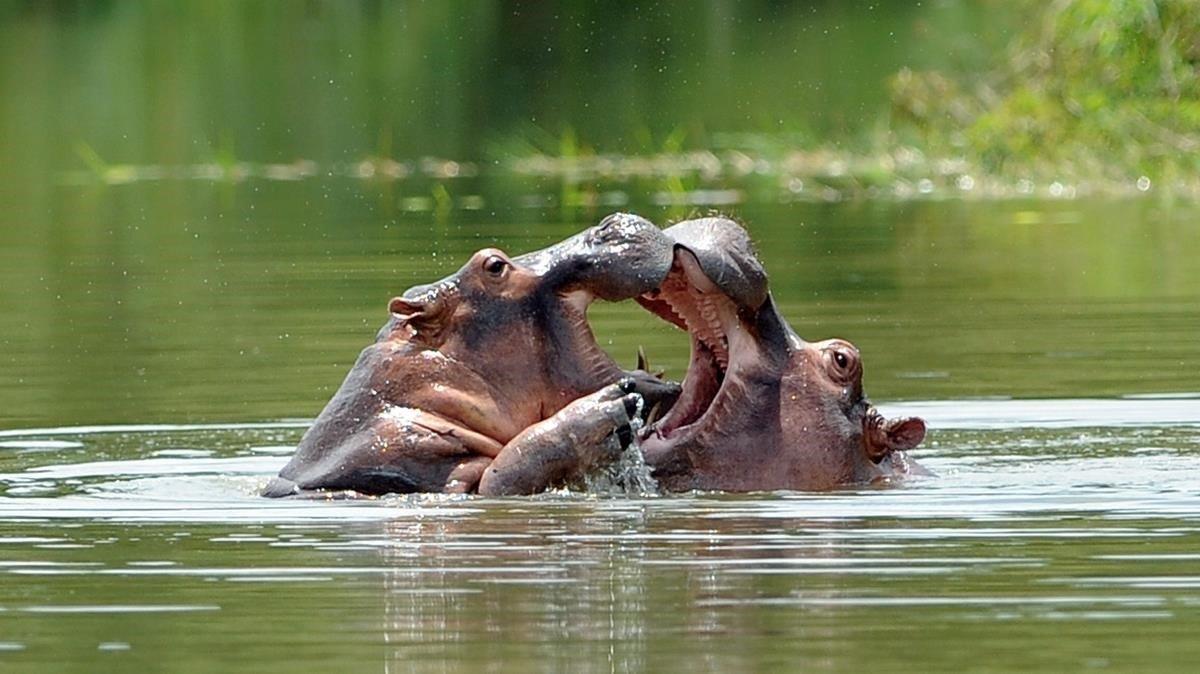 Dos hipopótamos en la Hacienda Nápoles, ya parque para entonces, en el 2009.