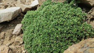 Descoberta al Ripollès una planta mai vista a la península ibèrica