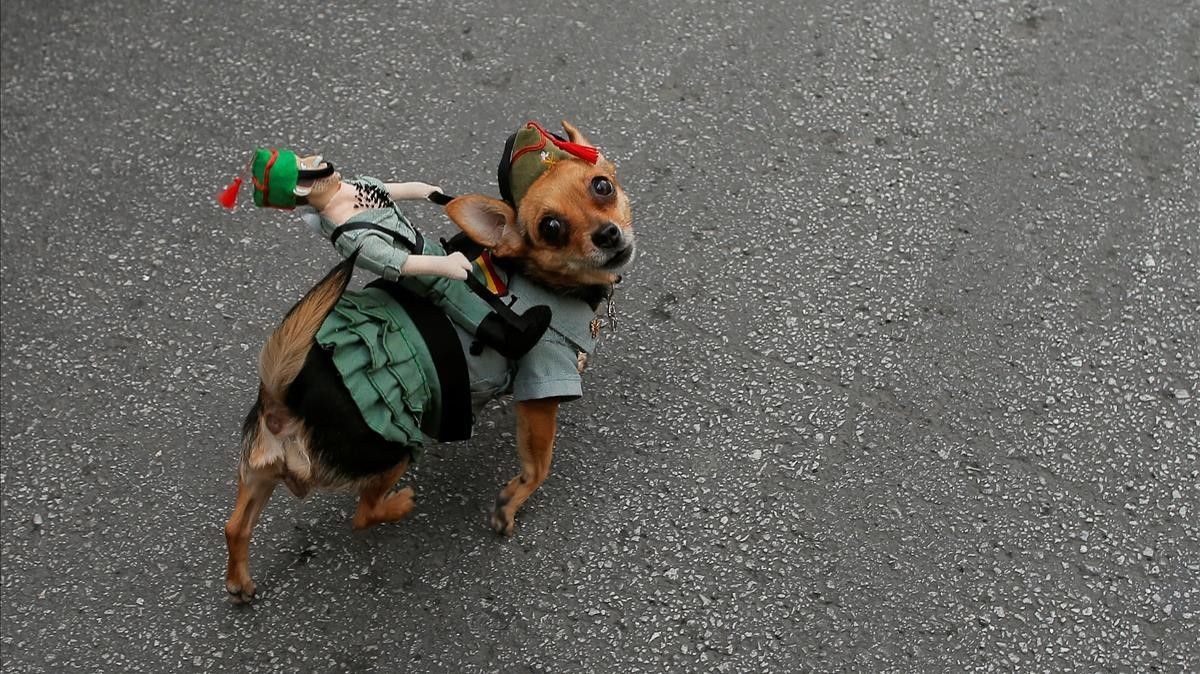 abertran42710050 a dog named golfa dressed in a spanish legionnaire costume 180329173922