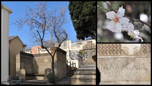 El joven almendro del cementerio de Sant Gervasi, en Barcelona.
