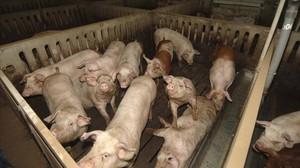 Cerdos en una granja de Ivars d'Urgell.