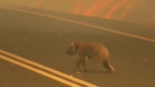 Los koalas se enfrentan al fuego en Australia.