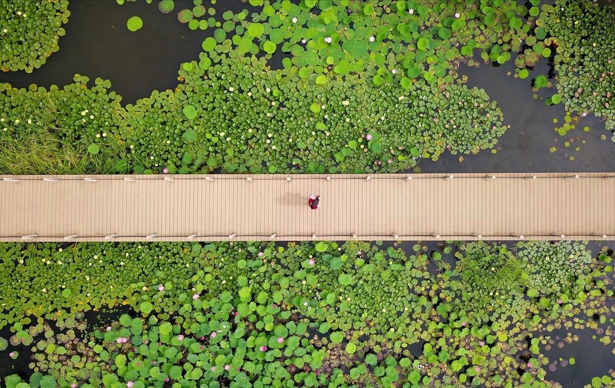 Imagen aérea que muestra a un visitante viendo plantas de loto desde una pasarela junto al antiguo canal en Yangzhou, en la provincia de Jiangsu, al este de China.