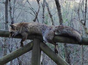 El cadáver de un zorro aparece atado a una valla en un parque natural de Asturias