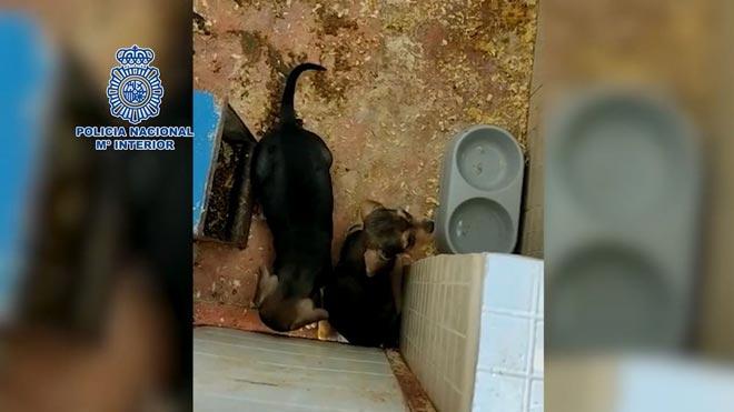 Desmantelado un criadero ilegal de perros en Badajoz.
