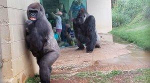 La dramática huida de un grupo de gorilas ante la lluvia en un zoo