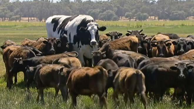 Una vaca australiana es deslliura de l'escorxador per la seva mida