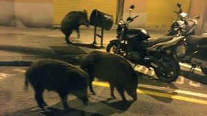 Tres jabalís buscan comidaen la calle de Amèrica, en el barrio de El Guinardó, el martes por la noche.