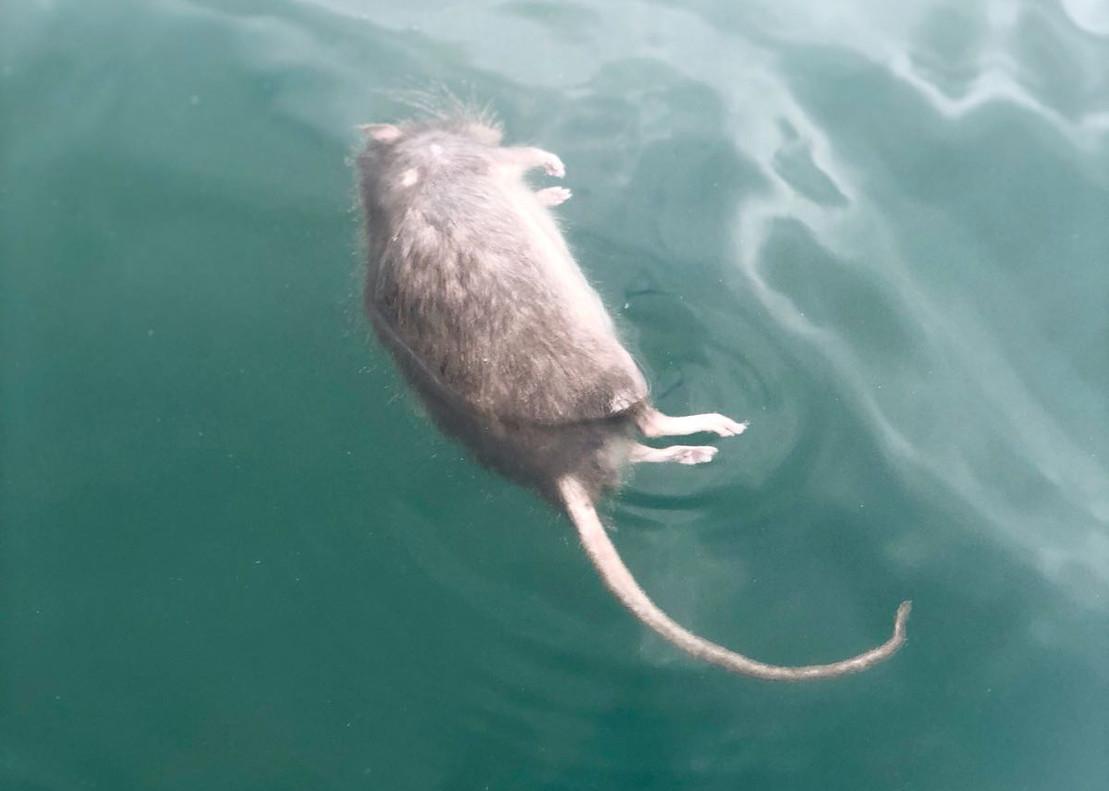 Una rata muerta flotando en la playa de la Barceloneta.