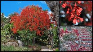 Braquiquíton vermell dels Jardins de Costa i Llobera, aBarcelona.