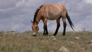 Un caballo dePrzewalski en la actualidad.