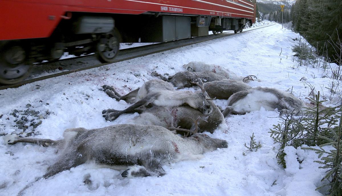 Ciervos muertos después de ser atropellados por un tren de carga cerca de Mosjoen, en el norte de Noruega.