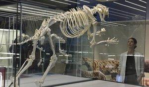 UnMachaidorus aphanistus, el temible tigre dientes de sable.