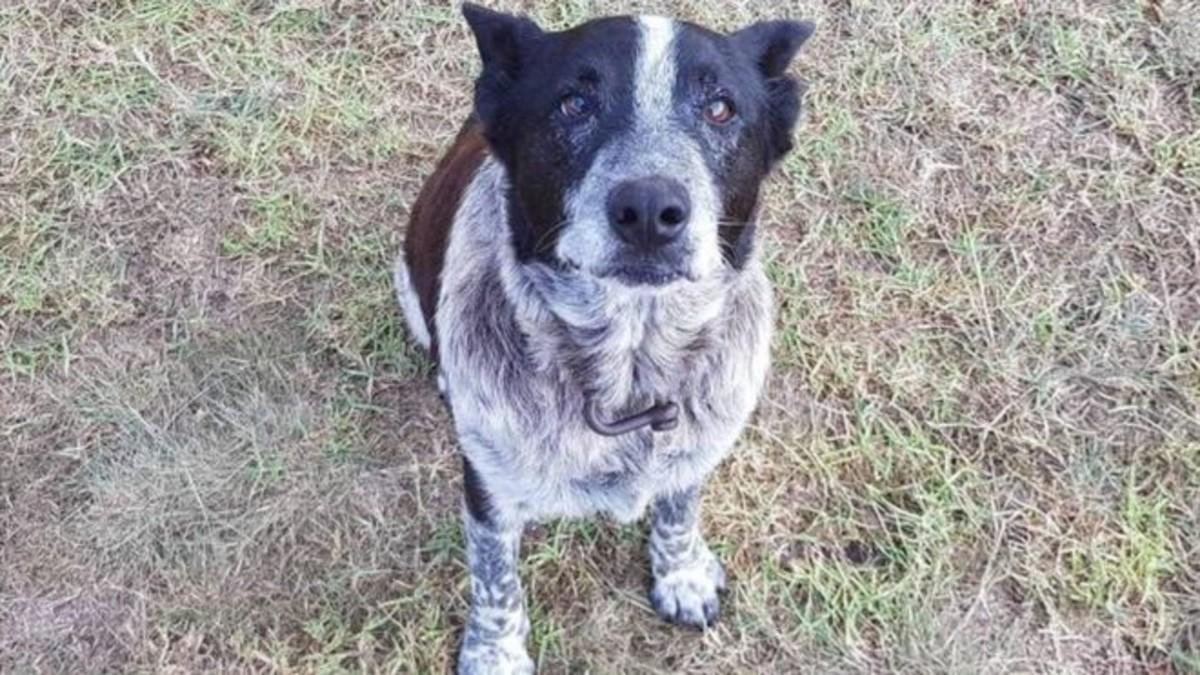 Max, el perro pastor australiano de 17 años que ayudó a encontrar a una niña de tres años perdida en un bosque.