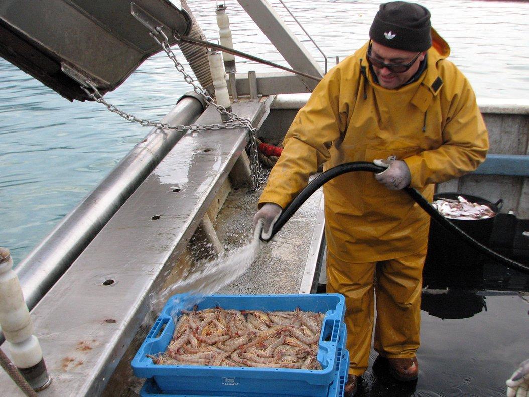 Un pescador de Sant Carles de la Ràpita limpiando langostinos.