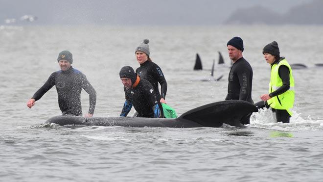 Un tercio de las 270 ballenas varadas en Australia han muerto, según los socorristas.