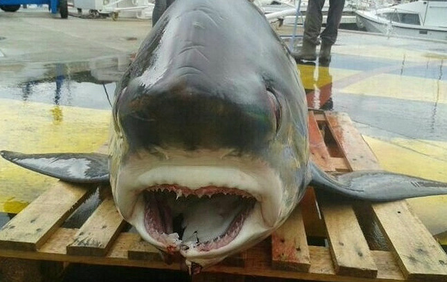 Tiburón capturado en Port de la Selva.