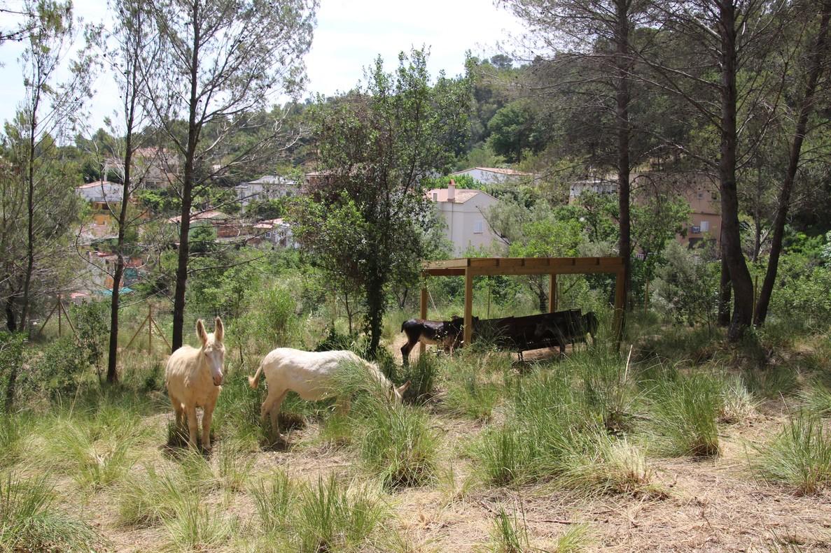 El trabajo con burros en Sant Boi.