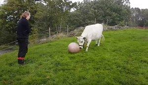 Una vaca demostra les seves aptituds esportives amb una pilota de pilates